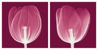 Tulips [Negative]