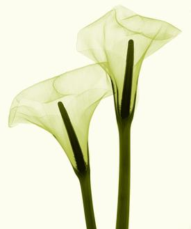 Two Callas Positive II