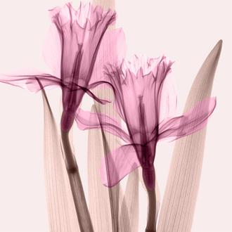 Daffodils III