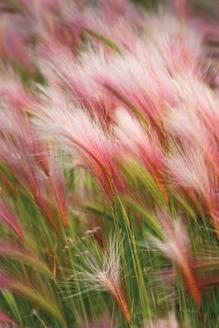 Foxtail Barley V
