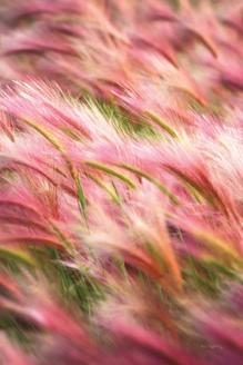 Foxtail Barley IV