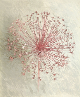 Allium Seedhead I