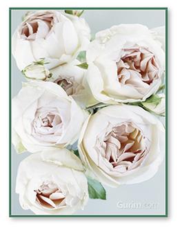 Early David Austin Roses